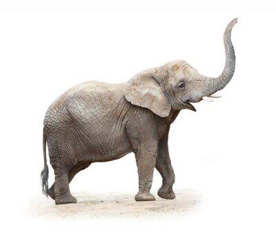 Fototapeta Młoda samica słonia afrykańskiego (Loxodonta Africana).