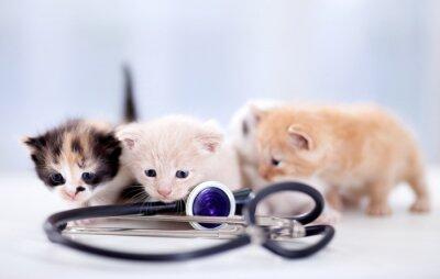 Fototapeta młode kocięta z stetoskop
