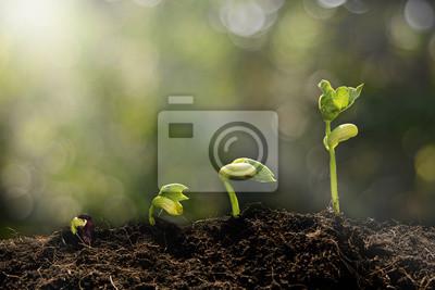 Fototapeta Młode rośliny rosnące w świetle poranka i zielony bokeh backgro