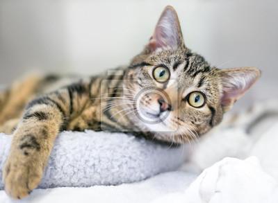 Fototapeta Młody brown tabby domowy shorthair kot relaksuje na kota łóżku