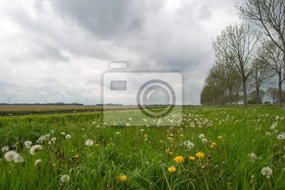 Mniszek lekarski w polu na wiosnę