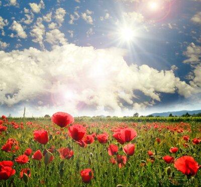 Fototapeta Mohnblumenwiese und strahlend schöner Sommerhimmel