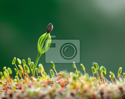 Fototapeta Moss i iglaste sadzonki