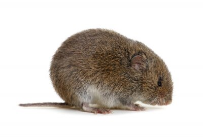 Mouse isolated on white