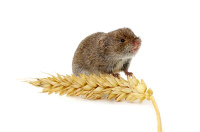Mouse with an ear of wheat