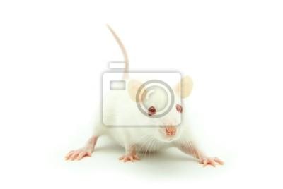 Fototapeta Mysz biała