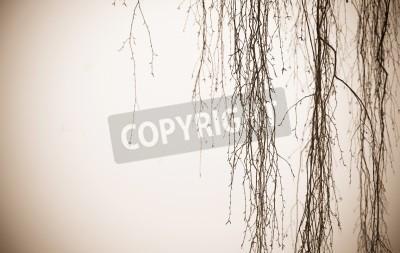 Fototapeta na białym tle wiszą brzozowych gałęzi drzewa