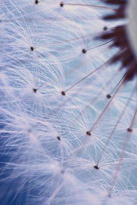 Fototapeta Nasiona dandelion makro łatwość
