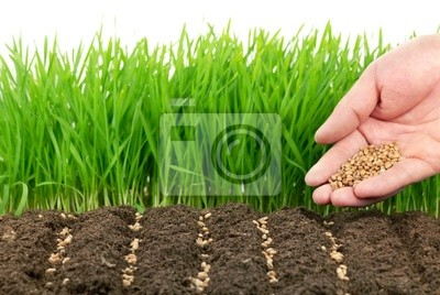 nasiona pszenicy i ich roślin