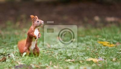 Fototapeta Neugieriges Eichhörnchen im Park
