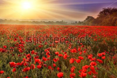 Fototapeta Nice sunset over poppy field