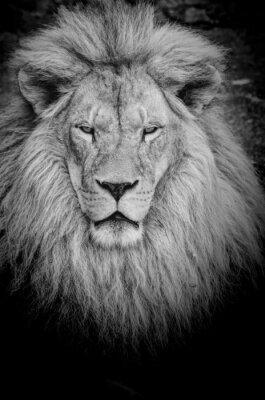 Fototapeta Niebezpieczny lew b & w