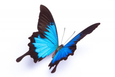 Fototapeta Niebieski i kolorowe motyle na białym tle