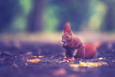 Fototapeta Niedliches Eichhörnchen im Herbst
