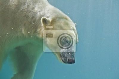 Niedźwiedź polarny nurkowanie