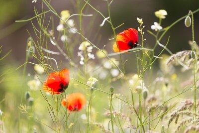 Fototapeta Niektóre kwitnące maki wśród trawy