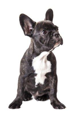 Fototapeta niewiele Buldog francuski puppy
