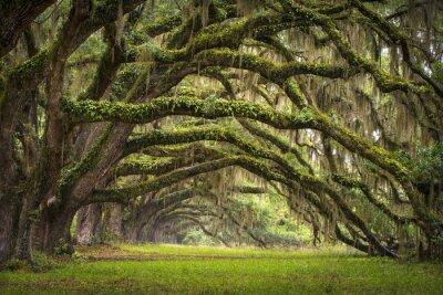 Fototapeta Oaks Avenue Charleston plantacji SC Live Oak drzew puszczy
