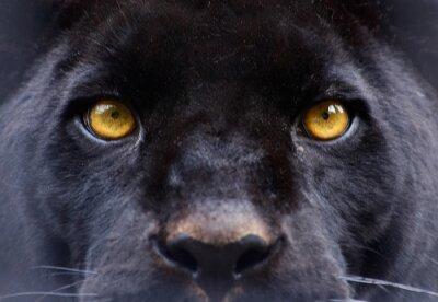 Fototapeta oczy czarna pantera
