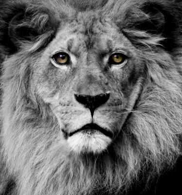 Fototapeta Oczy Lion