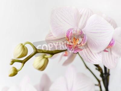 Fototapeta Oddzia? Bia? Yi ró? Owy orchidea phalaenopsis kwiat na bia? Ym tle