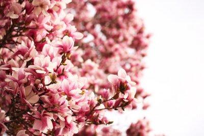 Fototapeta oddział kwiat magnolii