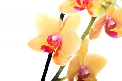 Fototapeta Oddział kwiat orchidei