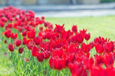 Fototapeta Ogród z kwiatami tulipanów w lecie