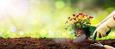 Fototapeta Ogrodnictwo - sadzenie bratek w Sunny Garden