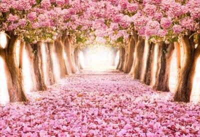 Fototapeta Opadaj? Cego p? Atek nad romantycznym tunelu ró? Owego kwiatu drzewa / Romantyczny kwiat drzewa nad natur? T? Aw sezonie Wiosny / kwiaty Tle