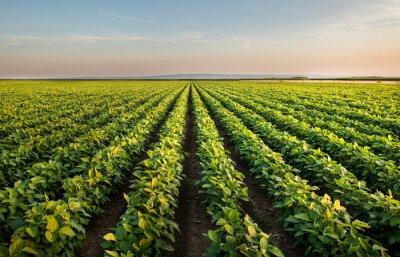Fototapeta Open soybean field at sunset.
