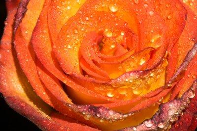 Fototapeta Orage róża z kroplami Makro