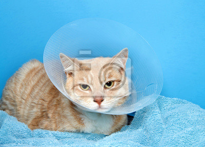 Fototapeta orange and white tabby cat wearing an elizabethian collar to prevent self injury after surgery. Also called the cone of shame.