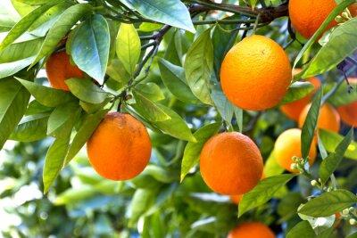 Fototapeta Orange Tree