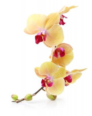 Fototapeta Orchid flower branch isolated