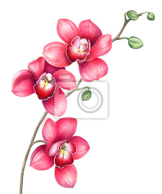Orchid flowers isolated on white. Watercolor hand drawn illustration.