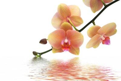 Fototapeta Orchid i refleksji na białym tle