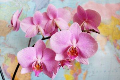 Fototapeta Orchid w geografii klasy