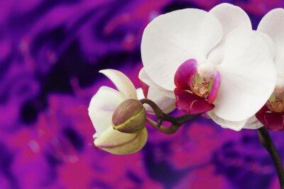 Fototapeta Orchid z fioletowym tle wody