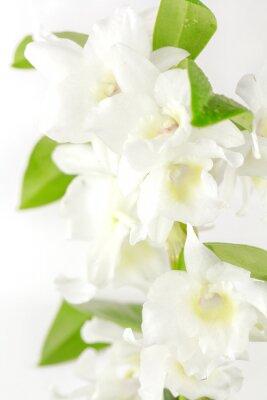 Fototapeta orchidée blanche
