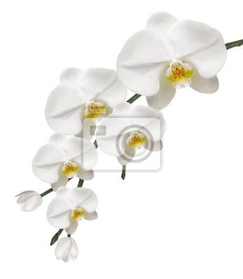 Orchidee Blanche et Purete