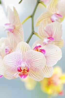 Fototapeta Orchidées en fleur