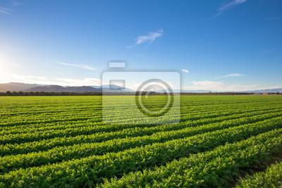 Fototapeta Organic Farm grunty uprawne w Kalifornii. Niebieskie niebo, palmy, wiele warstw górach dodać do tej organicznej i żyznej ziemi rolnej w Kalifornii.
