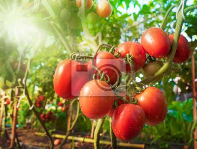 Fototapeta Owoców pomidora z kropli wody i światła słonecznego