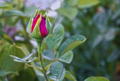 Fototapeta Pączek róży
