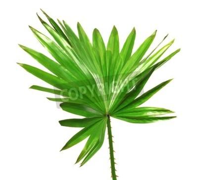 Fototapeta Palma liści samodzielnie na białym tle