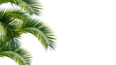 Fototapeta Palme, palmwedel, palmblatter vor weißem hintergrund
