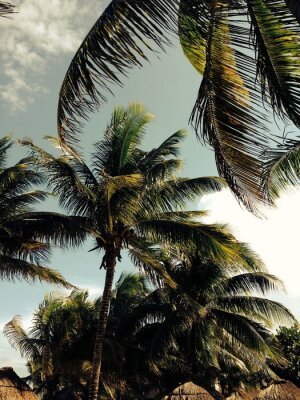 Fototapeta Palmy na wietrze