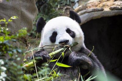 Fototapeta Panda Ailuropoda Melanoleuca jedzenia bambusa zoo Singapuru