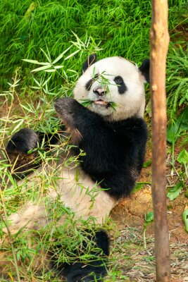 Fototapeta Panda Bear